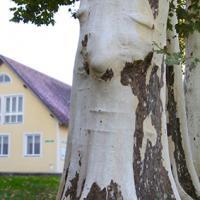 Baum2.JPG
